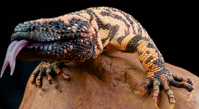 closeup of Gila monster with tongue out